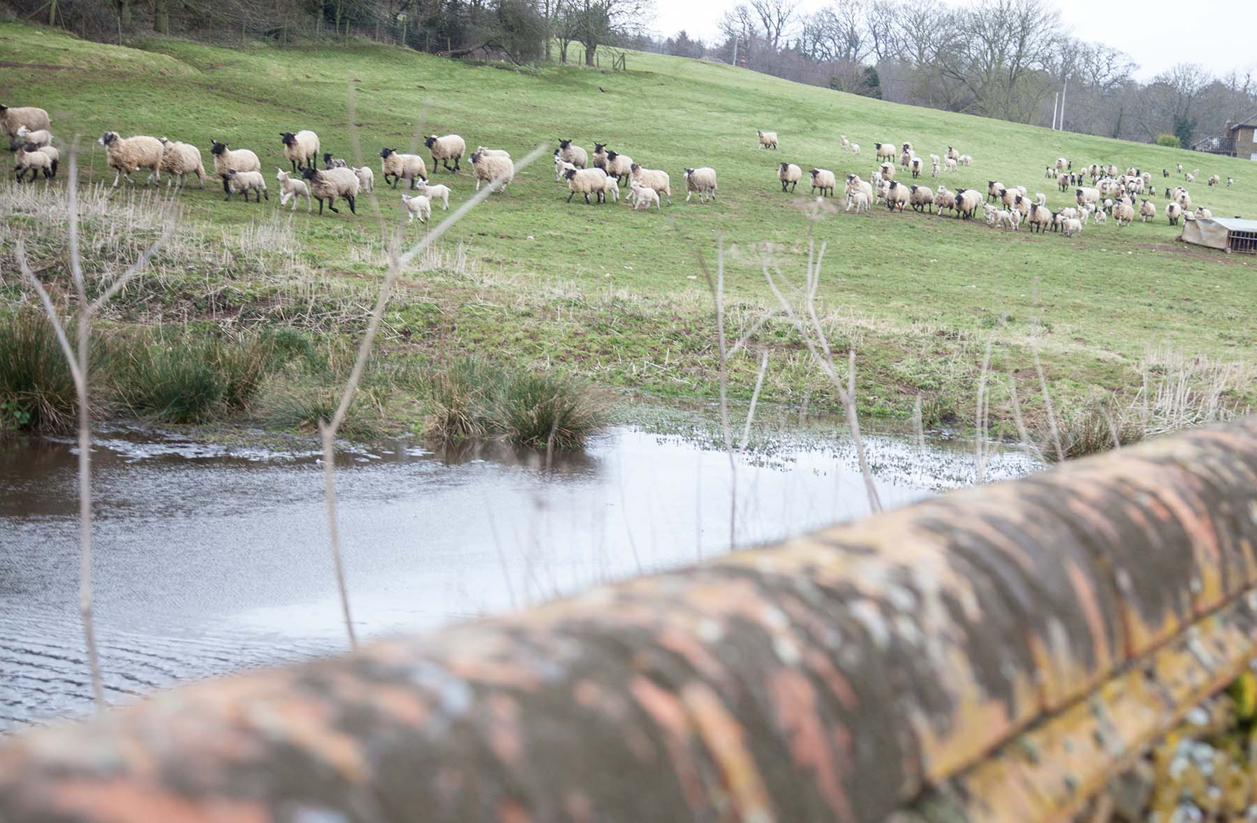 Sheep next to the Allen Tomas&Co Financial Management Dersingham office